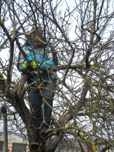 Viljapuude hooldus peab olema järjepidev